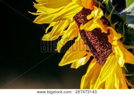 Closeup Of Sunflower. Twoo Bees On Sunflower. Sunflower In Summer Day. Blooming Sunflower. Sunflower