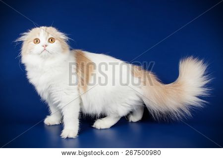 Studio photography of a scottish fold longhair cat on colored backgrounds poster