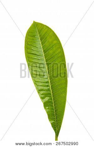 Frangipani Leaf Tropical Flora Isolated On White Background
