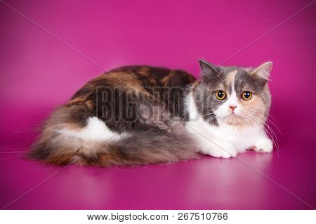 Studio photography of a scottish straight longhair cat on colored backgrounds poster