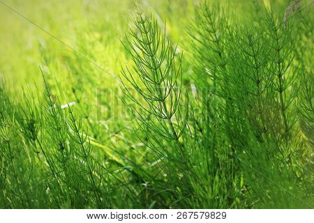 Wild Plants - Green Background Of Horsetail Or Tolkachik Or Equisetum Arvense . Common Horsetail In