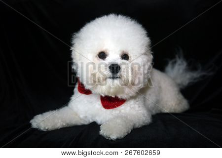 A beautiful 1 year old Pure Breed Bichon Frise dog wears a red bowtie and poses on black velvet. Dog portrait. Dog Fashion Photo Shoot on black.