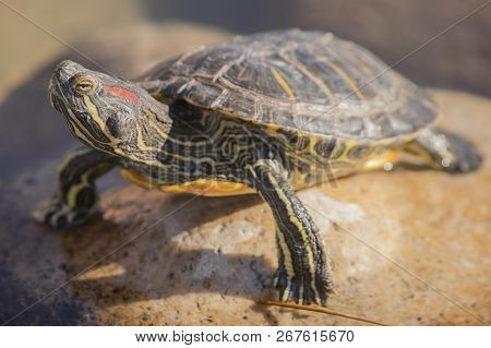 Red-eared Slider, Trachemys Scripta Elegans, Red-eared Terrapin Is A Semiaquatic Turtle Belonging To