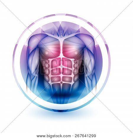 Muscles Of The Human Body, Abdomen, Chest And Arms, Beautiful Colorful Icon