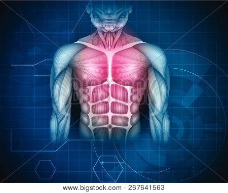 Muscles Of The Human Body, Abdomen, Chest And Arms, Beautiful Colorful Illustration On An Abstract B