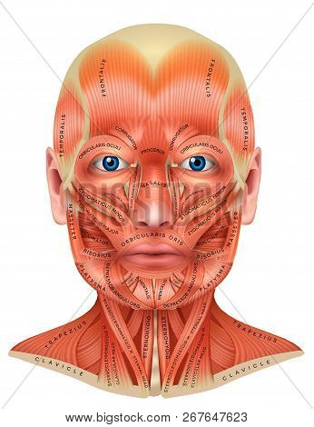 Face And Neck Muscles Detailed Colorful Anatomy Isolated On A White Background