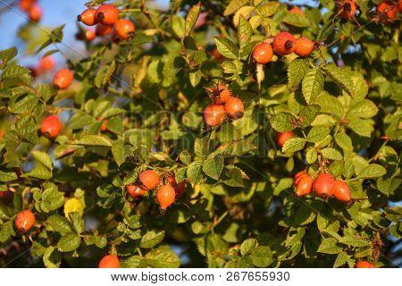Rose Hip Shrub With Beautiful Growing Matured Berries