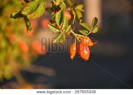 Beautiful Sunlit Growing Red Matured Rose Hip Berries