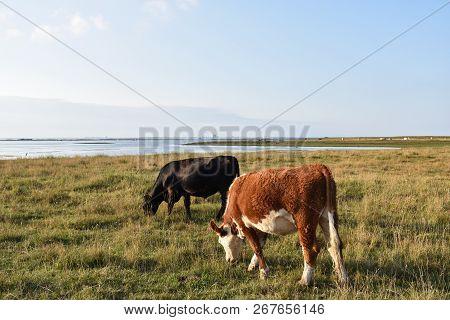 Grazing Cattle In A Coastal Wetland At The Swedish Island Oland