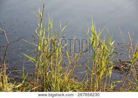 Beautiful Sunlit Green Reeds By The Coast