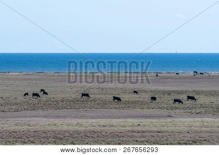 Herd Of Grazing Cattle In A Coastal Wide Open Grassland On The Swedish Island Oland In The Baltic Se