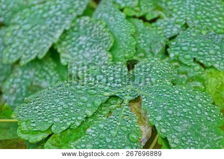 Natural Texture Of Green Leaves And Water Drops
