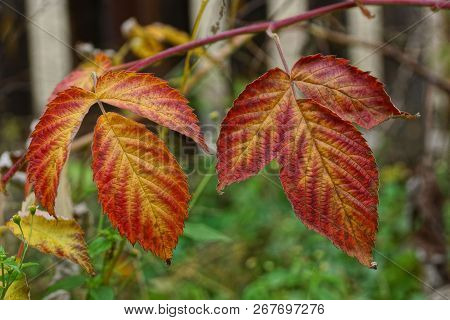 Two Large Red Leaf On A Raspberry Branch