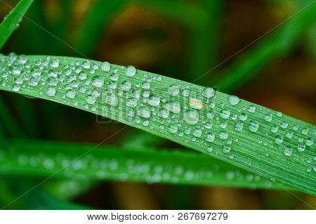 Part Of A Long Leaf Of A Blade Of Grass In Dew Drops