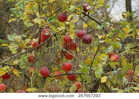 Red Apples On A Tree Branch With Yellow And Green Leaves In The Autumn Garden