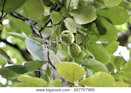 Hickory Nuts Hang Beneath The Branches Of A Tree In The Forest.