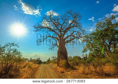 Sunset Baobab Tree In Musina Nature Reserve, One Of The Largest Collections Of Baobabs In South Afri