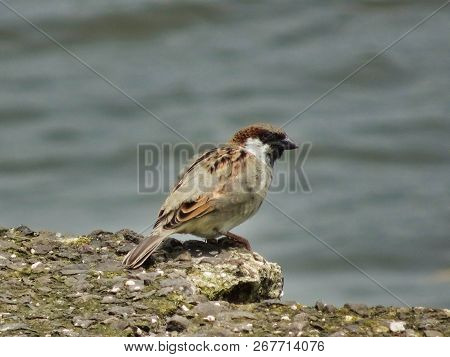 Passer Domesticus House Sparrow Rested On A Rock Gazing Over The Lake Under The Warm Sun In India