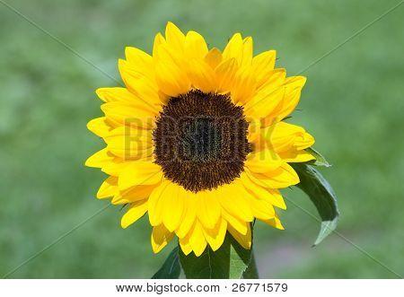 Sunflower in the Juckerfarm garden (near Zurich, Switzerland)