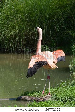 Pink flamingo (Zurich Zoo, Switzerland)