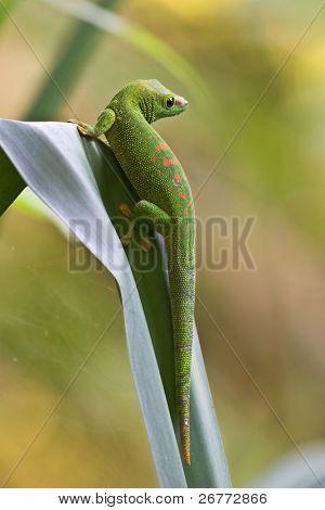 Green madagascar gecko on the leaf