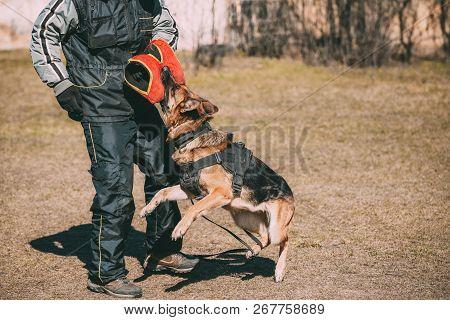 Alsatian Wolf Dog Biting Sleeve During Training. Deutscher Dog.