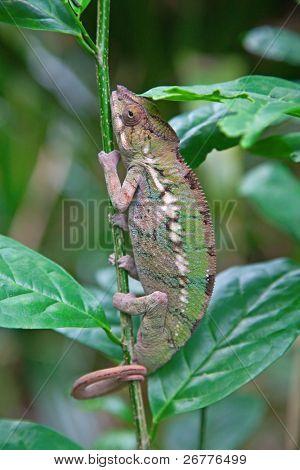 Madagascarian chameleon on the tree