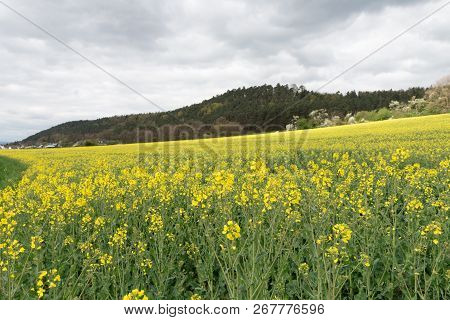 A Field With Yellow Flowers In Germany.