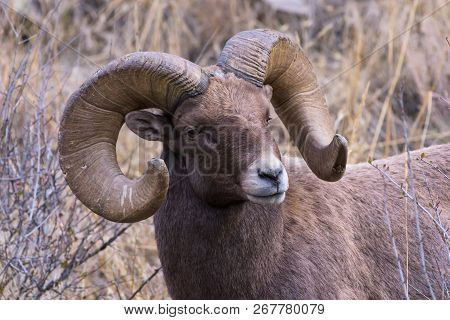 Mature Bighorn Ram In The Colorado Rocky Mountains.