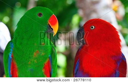Birds in love: Pair of lori parrots on the tree