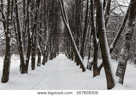 Snow-covered Linden Alley On A Frosty Cloudy Day