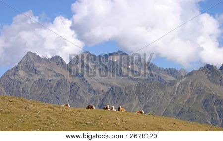 Group Of Cows Resting On A Meadow