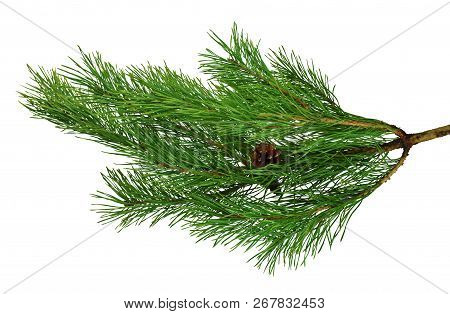 Pine Branches With Cones. Isolated On White Without Shadow. Close-up. Green Branches Of Pine. Christ
