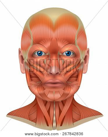 Muscles Of The Face And Neck Detailed Bright Anatomy Isolated On A White Background
