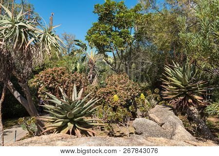An Indigenous Garden At The Afrikaans Language Monument At Paarl In The Western Cape Province. Aloes
