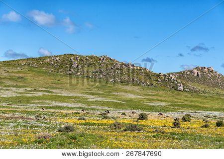 Ostriches Between Wild Flowers At Postberg Near Langebaan On The Atlantic Ocean Coast Of The Western