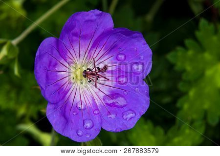 Beautiful Summer Flower With Pink Purple Violet Edges And White Petals