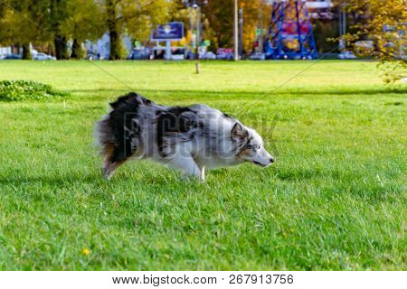 Australian Shepherd Aussie. Dog On A Walk On A Warm Sunny Day. Obedient Pet Performs The Commands Of