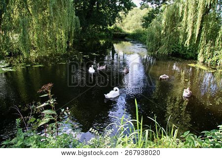 Adult White Swans With Babies In A Pond Surrounded By Weeping Willows