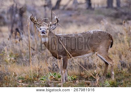 White-tailed Buck. Wild Deer In The Colorado Great Outdoors