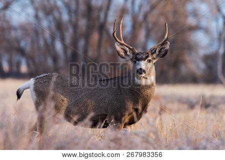 Wild Deer In The Colorado Great Outdoors. Mule Deer Buck In The Morning Light.