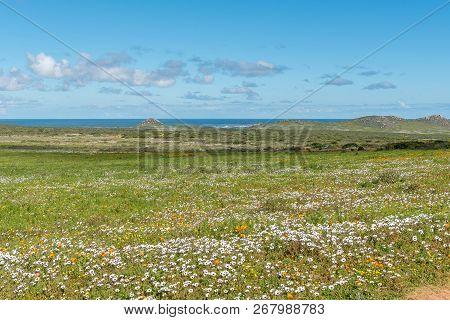 Wild Flowers At Postberg Near Langebaan In The Western Cape Province. The Atlantic Ocean Is Visible
