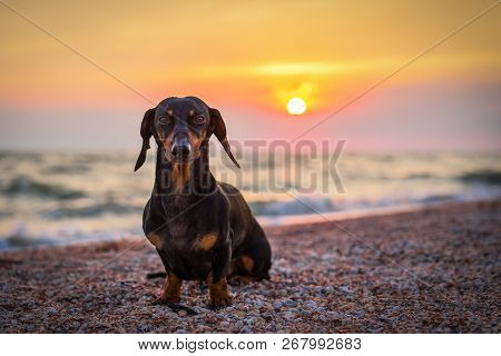 Portrait Dog Breed Dachshund, Black And Tan, Against The Setting Sun On The Beach In Summer. Sunset.