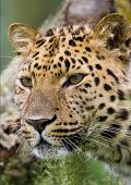leopard looking through grass in woods with tree poster