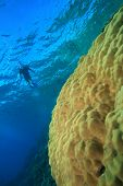 Snorkeler swims over Brain Coral poster