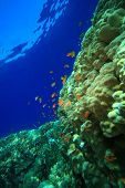 Coral Reef and Tropical fish in clear blue water poster