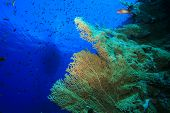 Gorgonian Fan Corals with diving boat in background poster