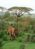 African Elephants in green savannah after the rains poster