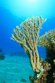 Young Acropora Table Coral poster