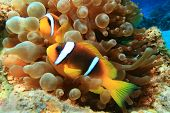 Pair of Red Sea Anemonefish in a Bubble Anemone poster